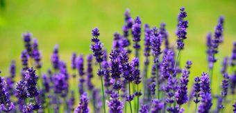 La-Ferme-aux-Lavandes-à-Sault-en-Provence-lavender-1117275-1600x776